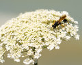 Black and yellow dauber on queen anne s lace Royalty Free Stock Images