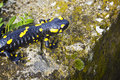 Black yellow dotted salamander closeup Stock Image