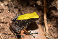 Black and yellow frog Climbing Mantella, Madagascar Royalty Free Stock Photo