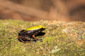 Black and yellow frog Climbing Mantella, Madagascar Royalty Free Stock Photo