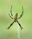 Black and Yellow Garden spider (Argiope aurantia) Royalty Free Stock Photo
