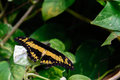 Black and yellow giant swallowtail butterfly in nature Royalty Free Stock Photos