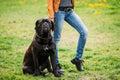 Black Young Cane Corso Dog Sit...