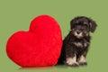 Black Zwergschnauzer puppy and red heart Royalty Free Stock Photo