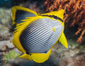 Blackbacked butterflyfish on a coral reef Royalty Free Stock Photo
