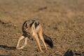 Blackbacked jackal black backed in kgalagadi transfrontier park Royalty Free Stock Image