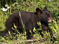 Blackbear Cub Stock Photography