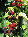 Blackberries 1/2 Royalty Free Stock Images