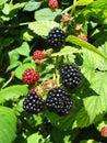 Blackberries 2/2 Royalty Free Stock Photos