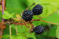 Blackberries berries growing in the summer garden rural Royalty Free Stock Photography