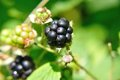 Blackberries black rubus on the bushin summer Royalty Free Stock Photography