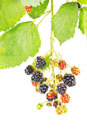 Blackberries on branch with and leaves isolated white Royalty Free Stock Photo