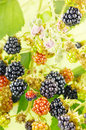 Blackberries in bush on a twig a with blackberry blossoms Stock Images