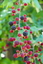 Blackberries in nature against gree background woods with natural light Stock Photography