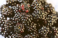 Blackberries pattern Stock Photo