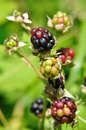 Blackberries red and black rubuslatin on the bushin summer Stock Photos