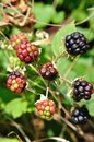 Blackberries red and black rubuslatin on the bushin summer Stock Images