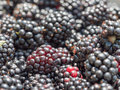 Blackberries red to black macro image of a group of the image is focused on the with multiple cells Stock Images