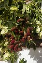 Blackberries Ripening On Branc...