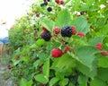 Blackberries Ripening On The B...