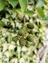 Blackberries Ripening In The G...