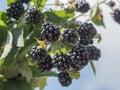 Blackberries Shot From Below