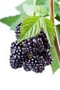 Blackberries on the twig Stock Photography