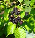 Blackberry Royalty Free Stock Image