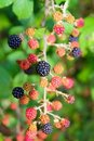 Blackberry berries branch in plant selective focus Royalty Free Stock Photo