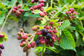 Blackberry berry bunch bush close-up detail unripe Royalty Free Stock Photo