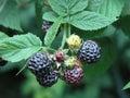 Blackberry brush Royalty Free Stock Photo