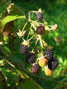 Blackberry bunch Royalty Free Stock Photo