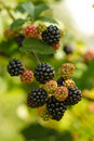 Blackberry on the bush Royalty Free Stock Image