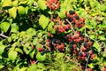 Blackberry bush with black and red berries Royalty Free Stock Photo