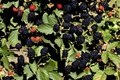 Blackberry bush with fruits Stock Photo