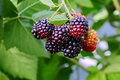 Blackberry bush in the garden with selective focus Royalty Free Stock Photo