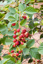 Blackberry bush Royalty Free Stock Photo