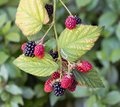 Blackberry bush with ripening black and red fruits Royalty Free Stock Photo