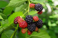 Blackberry bush with selective focus Royalty Free Stock Photo