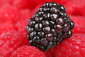 Blackberry delight Royalty Free Stock Images