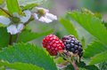 Blackberry flower and fruit plant flowers red black fruits Royalty Free Stock Photos