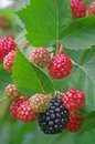 Blackberry plant with red and black fruits Stock Images
