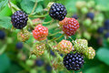 Blackberry ripening Stock Images
