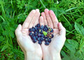 Blackberry (rubus) in hand Stock Image