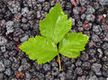 Blackberry rubus with leaf many fresh green Stock Photography