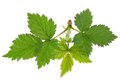 Blackberry young leaf on white Royalty Free Stock Photo
