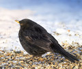 Blackbird Stock Photography
