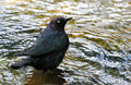 Blackbird black bird standing in water puddle Royalty Free Stock Photography