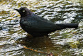 Blackbird black bird standing in water puddle Stock Image