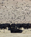 Blackbird and Black Cows Royalty Free Stock Photos